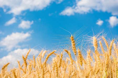 大麦畑と青い空