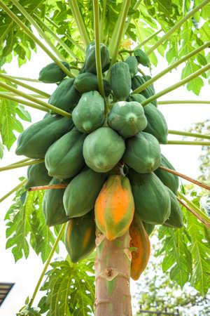 thailand fruit: fresh papaya tree with bunch of fruits Stock Photo