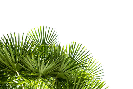 lush: Palm leaves isolated on white