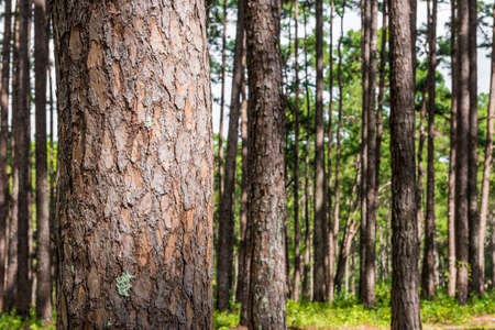 pine forest with trunk with bark Banque d'images