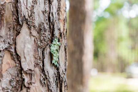 pine forest with trunk with bark Stock Photo