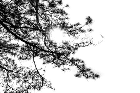 black pine: black pine branch isolated on white background