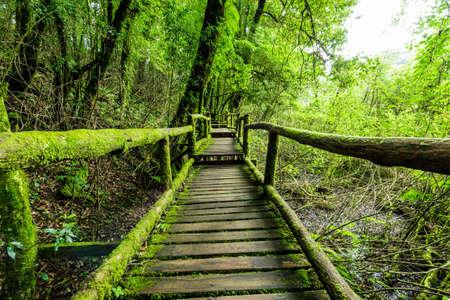 Rainforest at Inthanon Mountain, Chiang Mai, Thailand 版權商用圖片