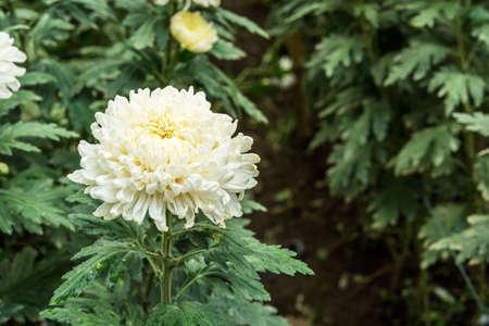 hotbed: chrysanthemum flowers