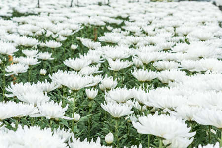 hotbed: Chrysanthemum farm on Doi Inthanon mountain in Chiang Mai, Thailand. Stock Photo