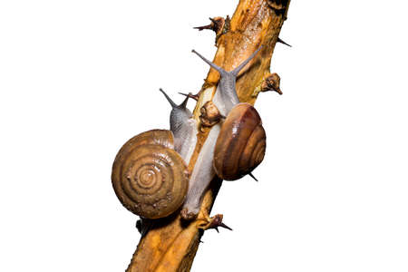 slithery: Snail on Branc, isolated on white