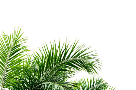 Palm leaves isolated on white