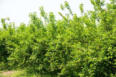 jeune mûrier sur la branche