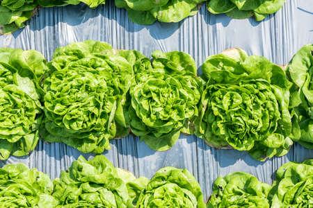 butter head: Fresh green lettuce on the field (Butter head)