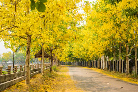 Cassia fistula flower and the road in countryside Stock Photo