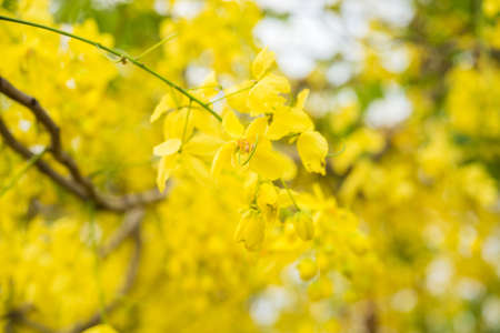 cassia: Cassia fistula flower, Golden shower flower Stock Photo