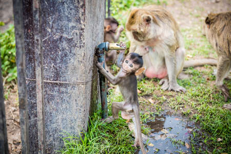 somnolent: baby monkeys are drinking water