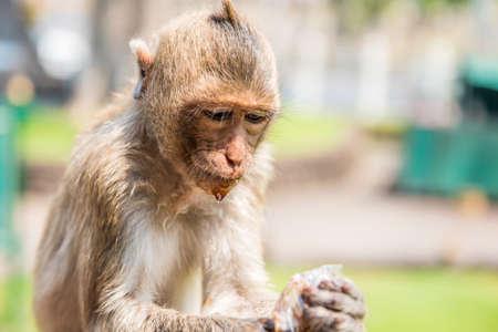 somnolent: Monkey drinking nectar.