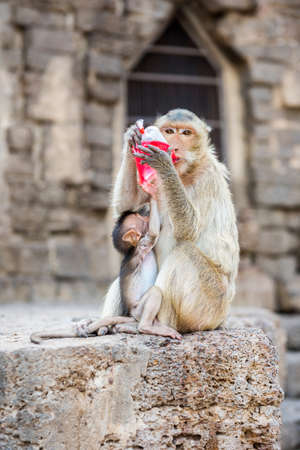 somnolent: Monkey drinking red nectar. Stock Photo