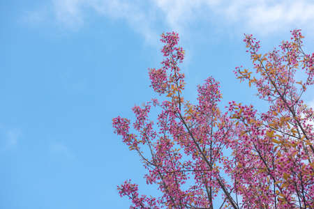 Spring Cherry blossoms, pink flowers with blue sky.