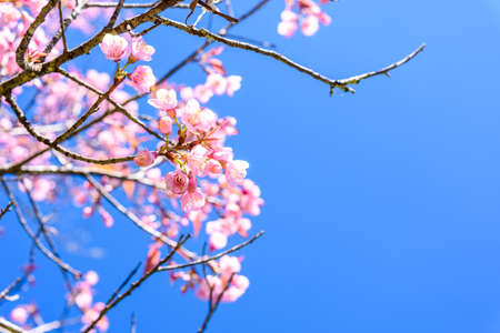 Soft focus Spring Cherry blossoms, pink flowers with blue sky.