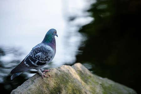 pigeon stand on rock near lake