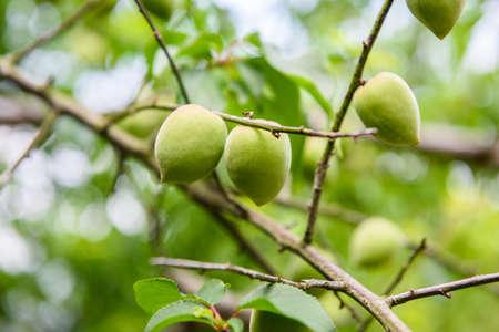 Unripe fruit peach growing on a tree branch
