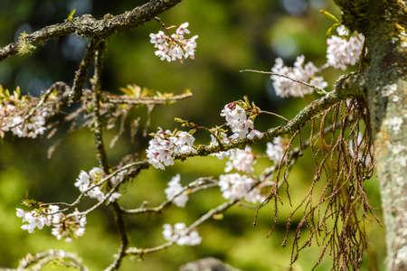 春に美しい桜さくら