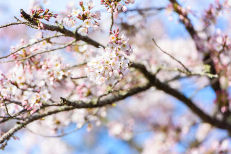 Beautiful cherry blossom sakura in spring time