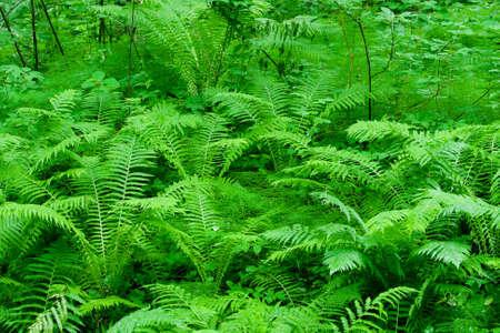 fern leaf: fern