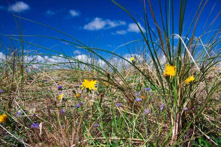 hieracium: dune grass Stock Photo