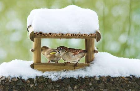 aviary: sparrow