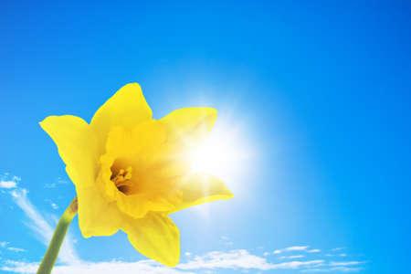 daffodil Stock Photo - 9302009