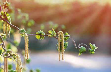 corylus: hazel branch