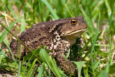 common toad bufo bufo photo
