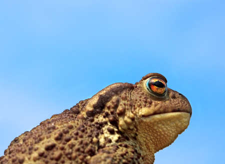 bufo bufo: common toad bufo bufo