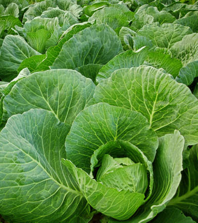 cabbage field photo