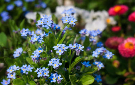 forget me not Stock Photo