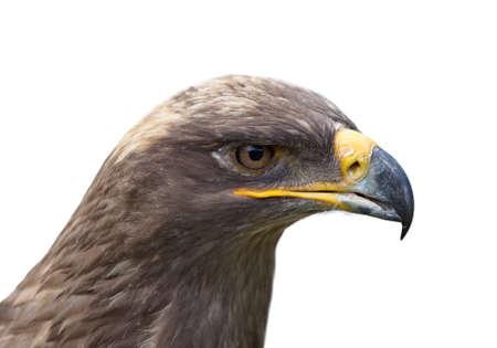 aigle royal: t? d'aigle Banque d'images