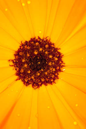 calendula flower detail macro photo