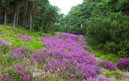 erica: heather landscape Stock Photo