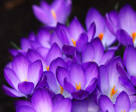 small purple flower: purple crocus flowers