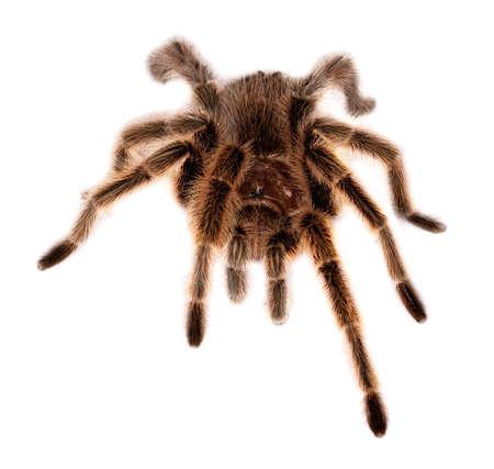tarantula: chilean rose hair tarantula