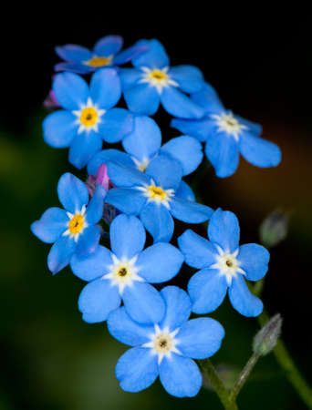 forget me not flower in the close up view