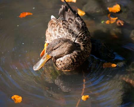 female mallard duck: female mallard duck Stock Photo
