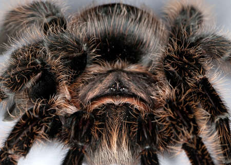 gro: tarantula spider macro Stock Photo
