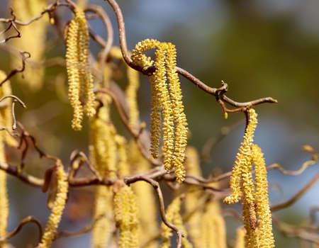 corylus: hazel branch in the morning