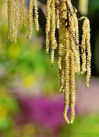hazel branches: hazel branch in the morningsun