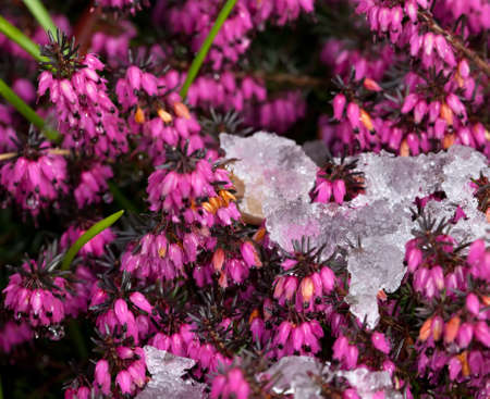 erica: purple heather blooming in the snow Stock Photo