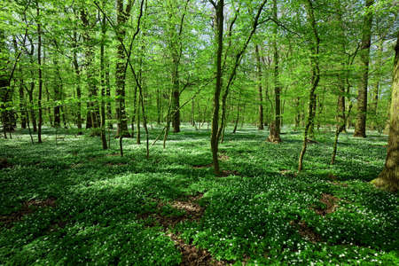 windflower: spring forest landscape with windflower