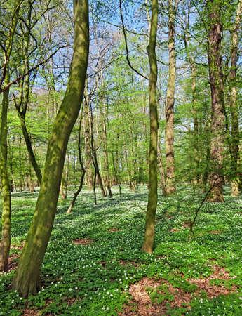 windflower: spring forest landscape with windflower