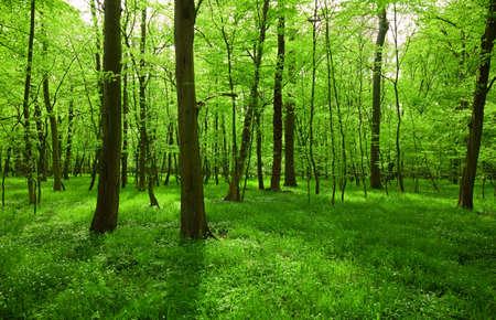 windflower: green spring forest landscape Stock Photo