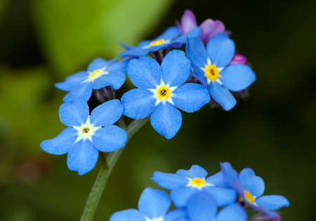 forget me not: close up of forget me not flower