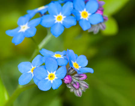 forget: close up of forget me not flower