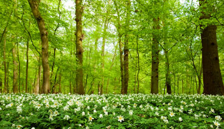 windflower: spring forest with anemone nemorosa
